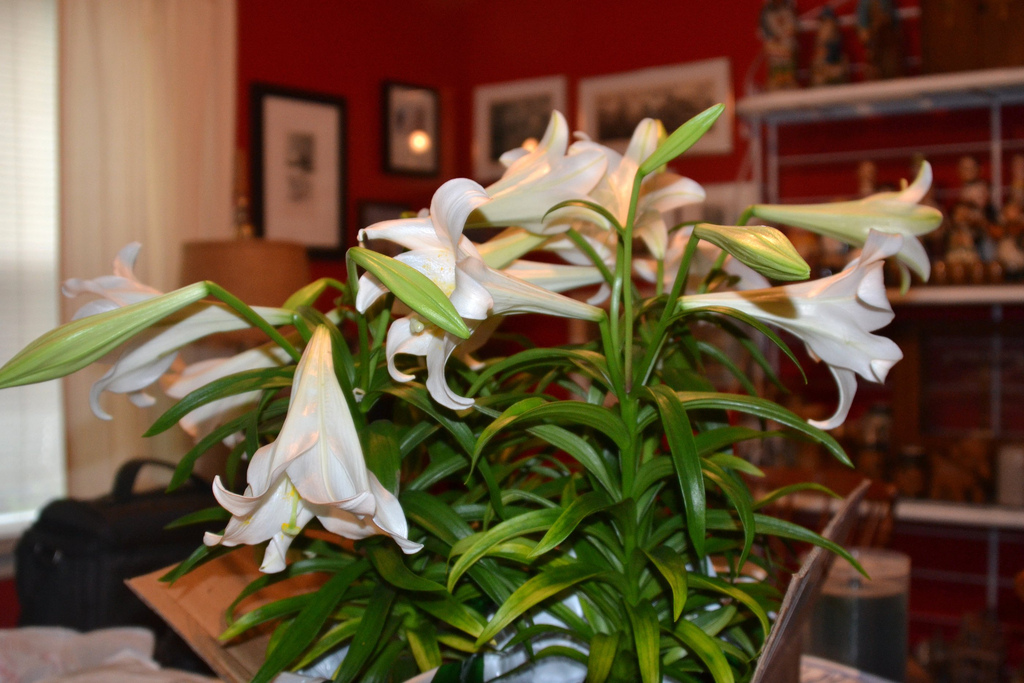 easter lilies on dining table