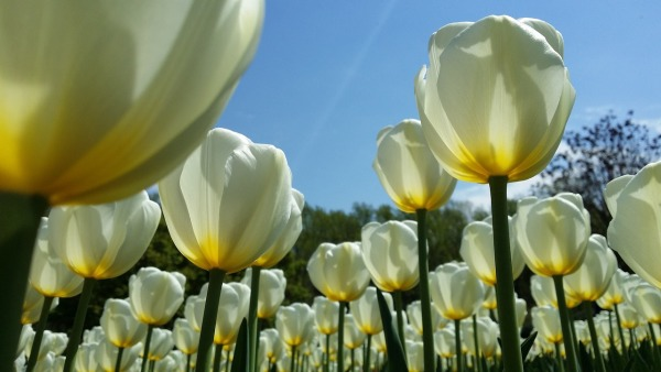 Beautiful tulips in the spring time